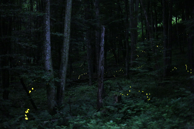 photinus_carolinus_fireflies